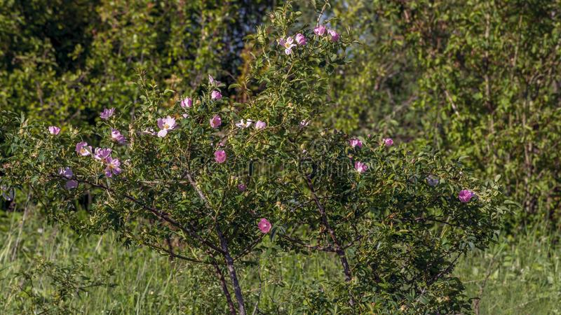 Wild briar bush with pink flowers in spring royalty free stock photography