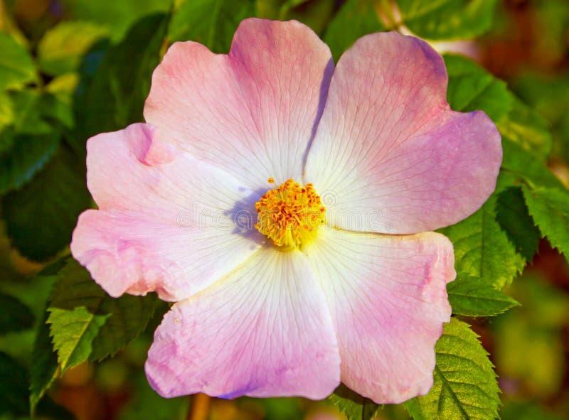 Wild-Brier, einzelne Blume lizenzfreies stockbild