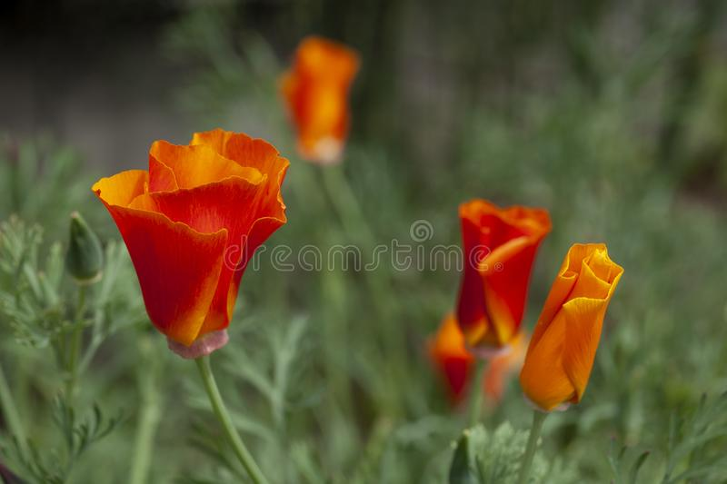 Wild, bright orange poppies grow wild as the California state flower. royalty free stock images
