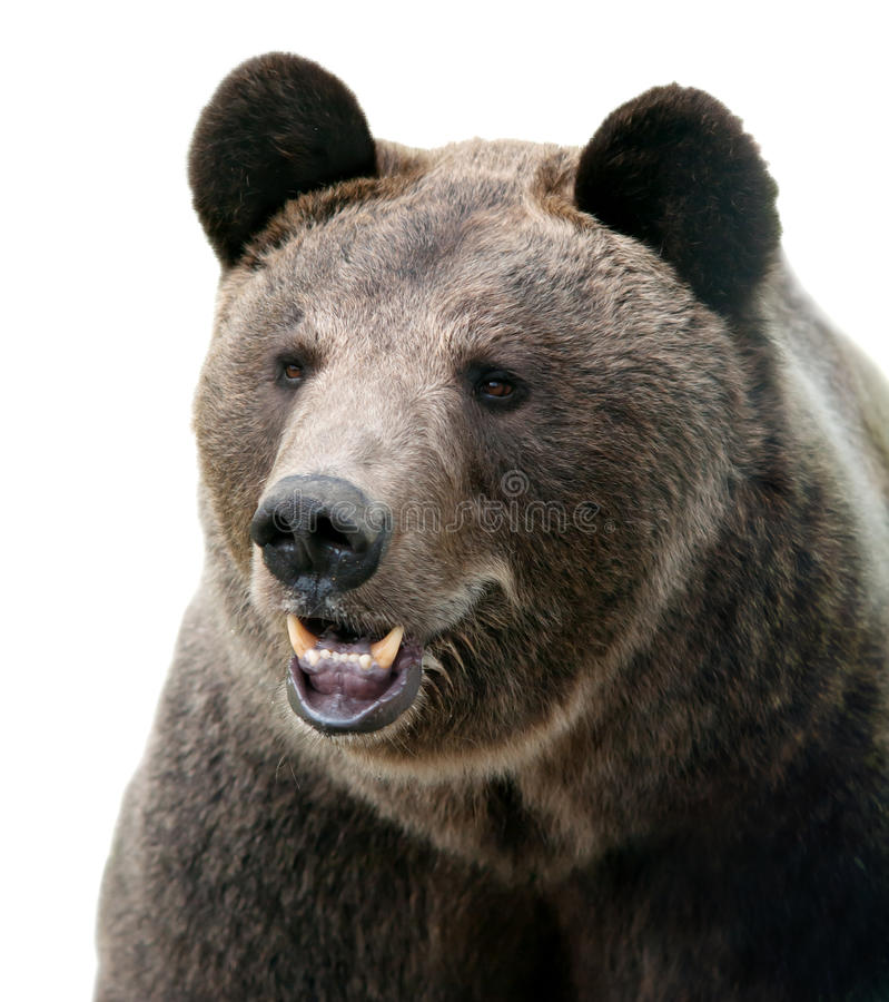 Free Wild Brown Bear Portrait. Royalty Free Stock Image - 76908426