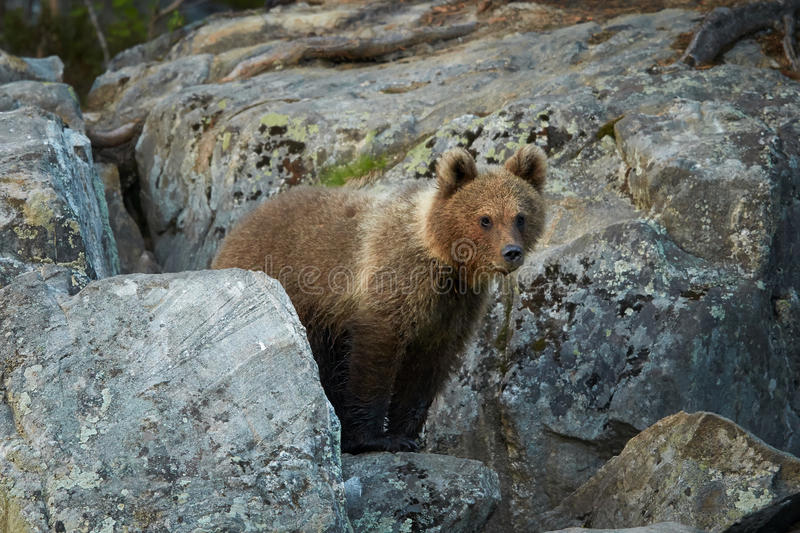 Wild Brown Bear, Ursus arctos, 2 years old cub, hidden among rocks, waits for mother bear. A close up photo of a wild, Wild Brown Bear, Ursus arctos, 2 years royalty free stock photos