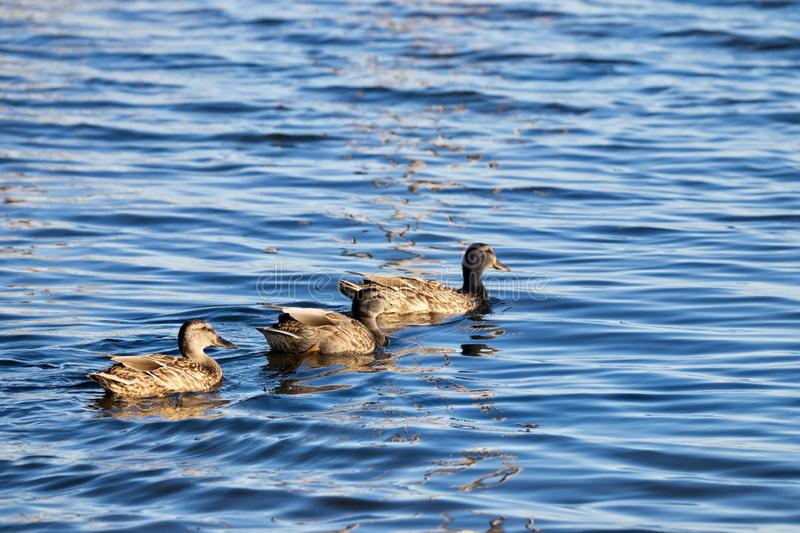 Ducks swimming in water royalty free stock photography