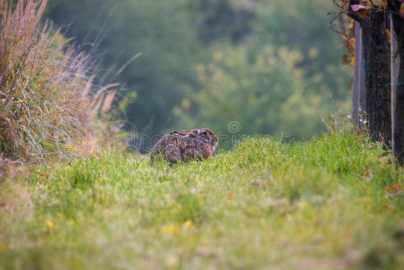 Wild Brown Hare, Basking In The Sun Between The Vineyard Rows. Lonely Hare In The Vineyard On The Green Grass. royalty free stock images