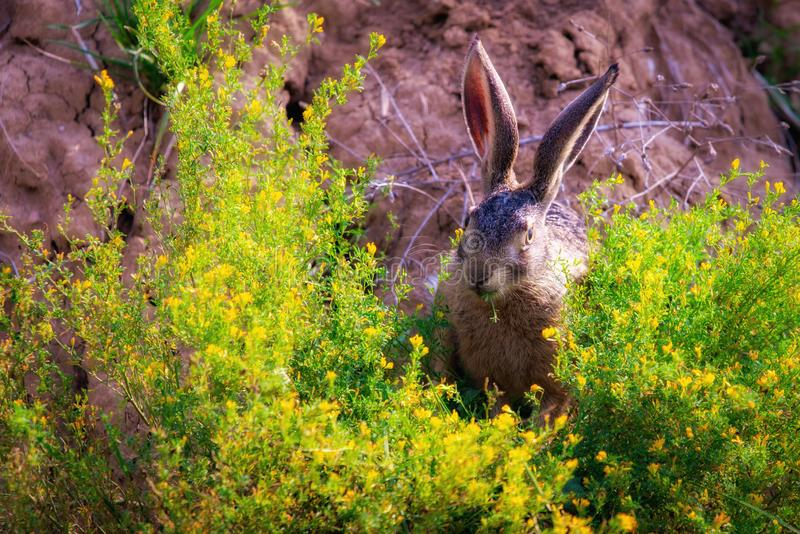 Wild brown hare with big ears sitting in a grass royalty free stock photo