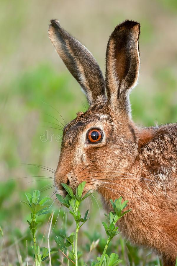 Wild brown hare close up eating. Wild brown hare in Norfolk UK eating a plant. Natural animal portrait of head and ears royalty free stock photos