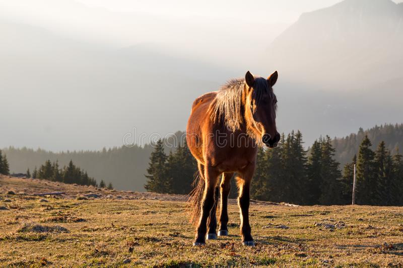 Wild brown horse looking towards the camera/photographer with the afternoon light shining through its mane and glowing on its back royalty free stock photos