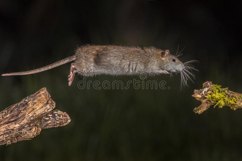 Wild brown rat jump. Wild Brown rat (Rattus norvegicus) jumping from log at night. High speed photography image stock image