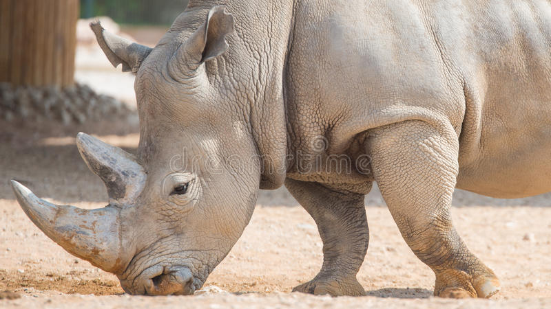 Wild brown rhinoceros. Lives in open zoo at UAE royalty free stock photography