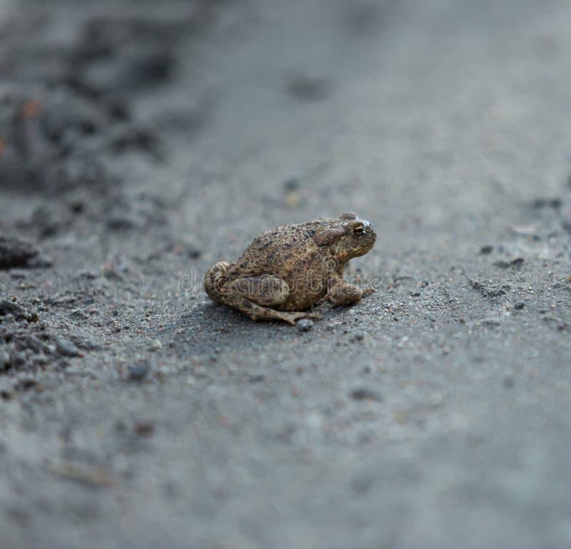 Wild brown toad walking on sand. Small amphibian animal portrait stock photo