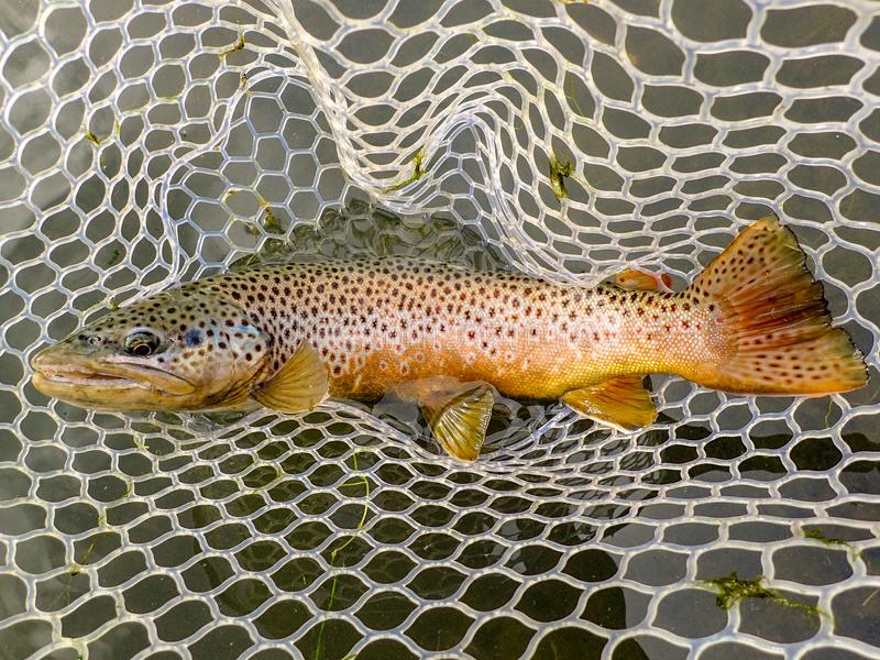 Wild brown trout caught and released on the Owyhee River, Oregon royalty free stock images