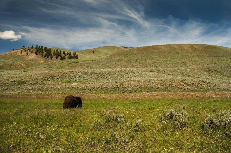 Wild buffalo in Wyoming stock image
