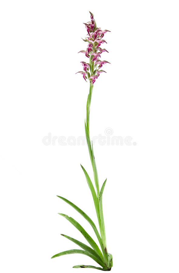 Wild Bug orchid plant - Orchis coriophora royalty free stock photos