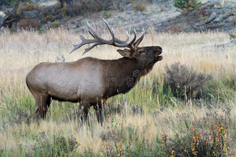 Wild bull elk bugling royalty free stock image