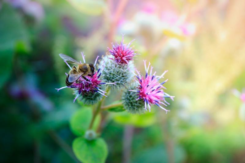 Wild Burdock Arctium lappa flower in bloom. Wild Burdock Arctium lappa with a blooming pink flower and with a bee in the daytime on a dark green blurred stock images