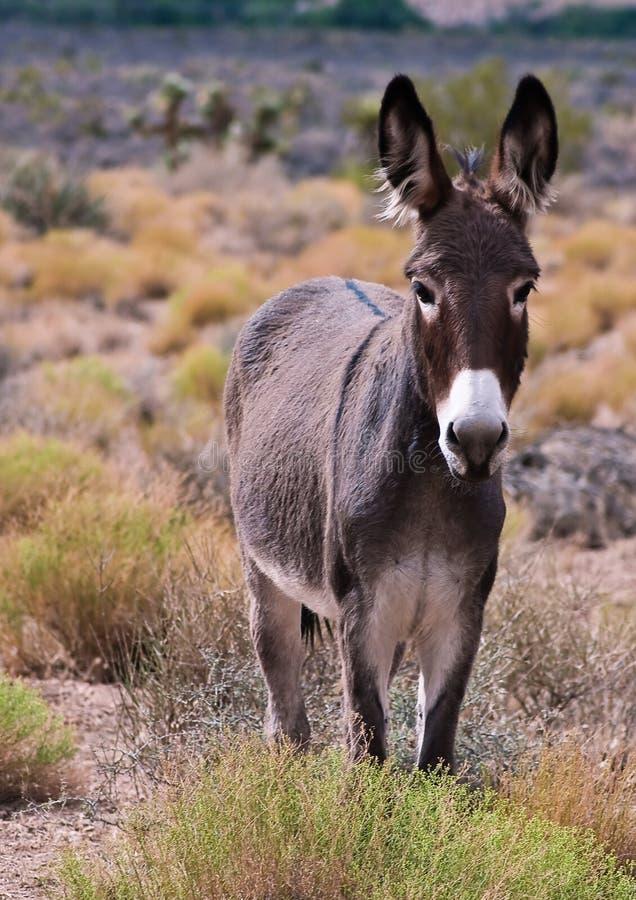 wild burro royaltyfri fotografi