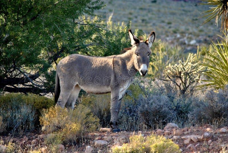 Wild Burro in the Desert