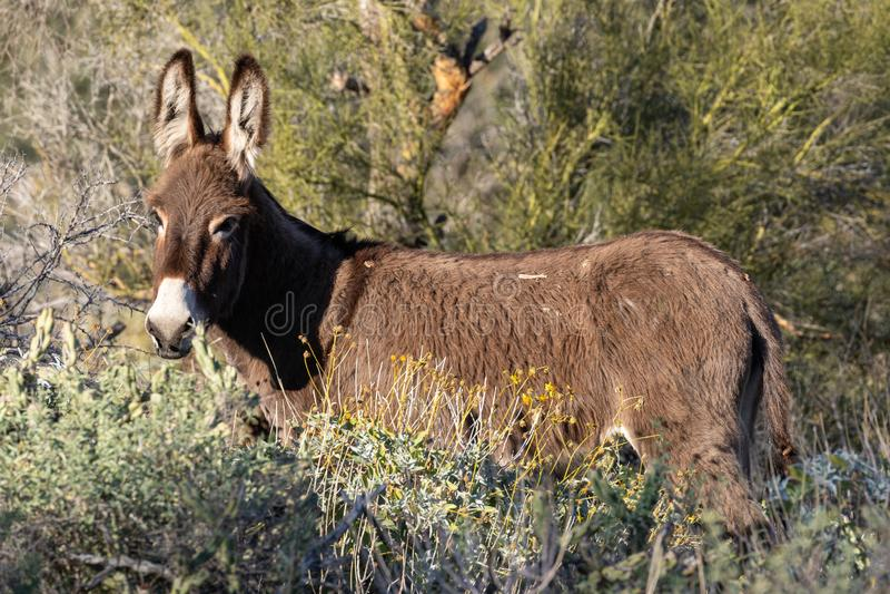 wild burro arkivbilder