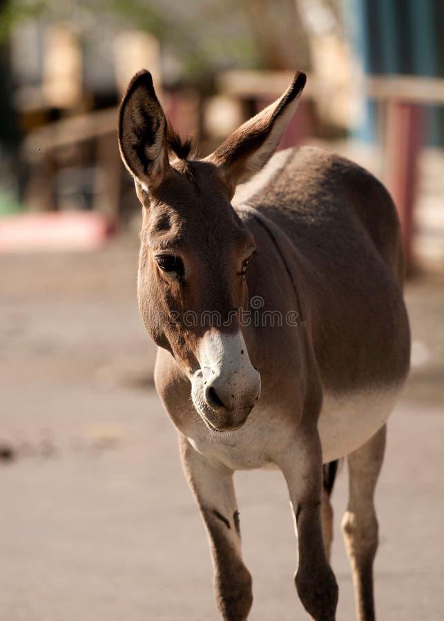 Wild Burro In Oatman, Arizona Stock Photos
