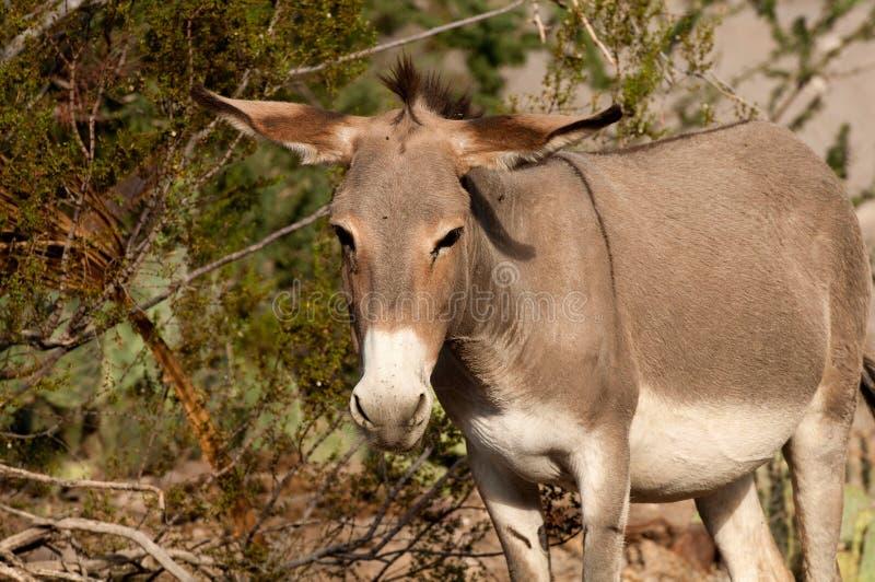 Download Wild Burro In Oatman, Arizona Stock Image - Image: 26517519