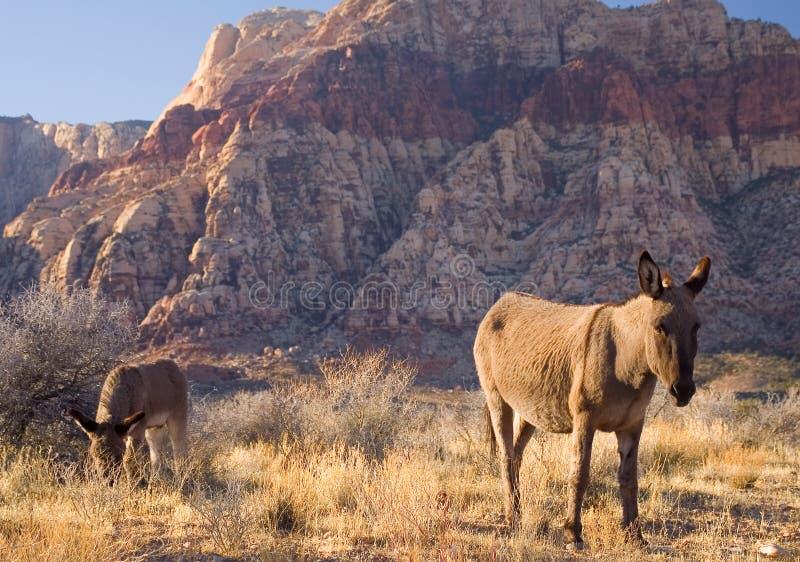 wild burros fotografering för bildbyråer