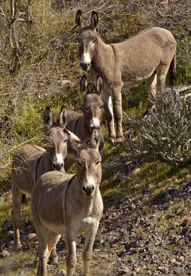 Wild Burros in Arizona stock photo