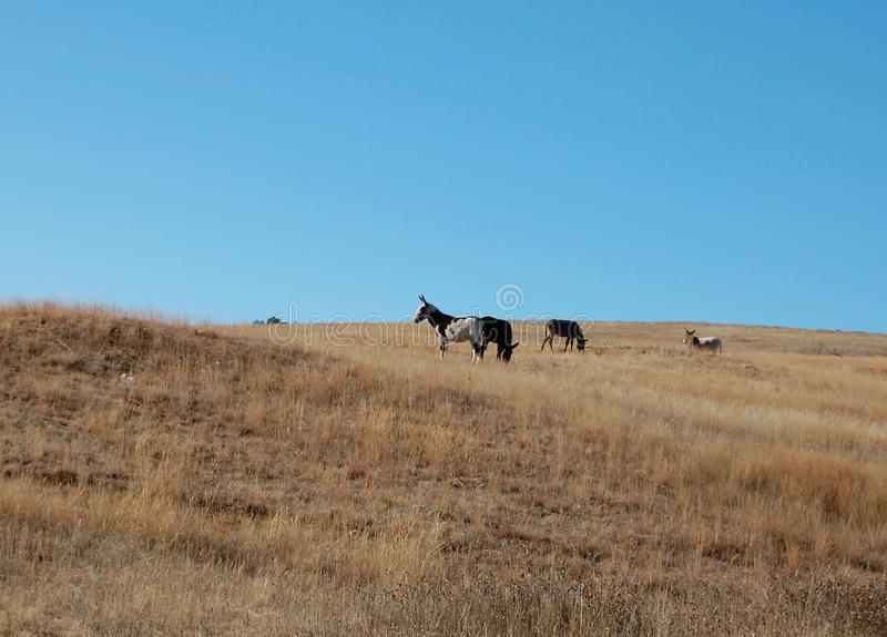 Wild Burros at Custer State Park in South Dakota royalty free stock photography