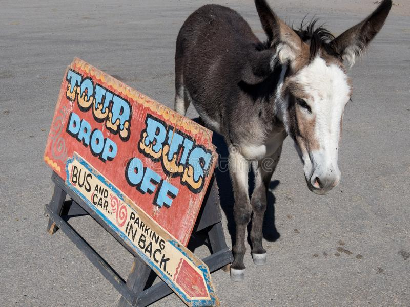 Wild Burros along Route 66 in Oatman Arizona stock photos