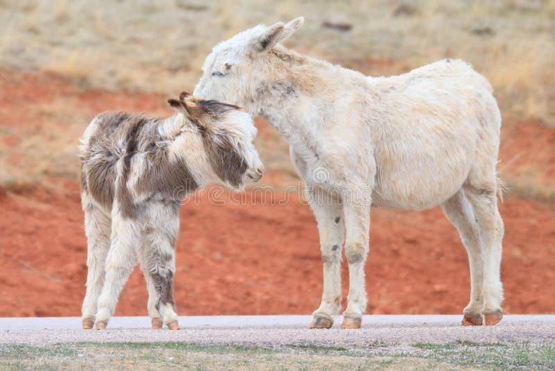 Wild burros stock photos