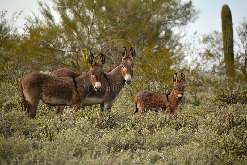 Wild Burros royalty free stock photos