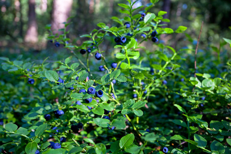 Wild bush of blueberry with fruits in sunny forest royalty free stock photos