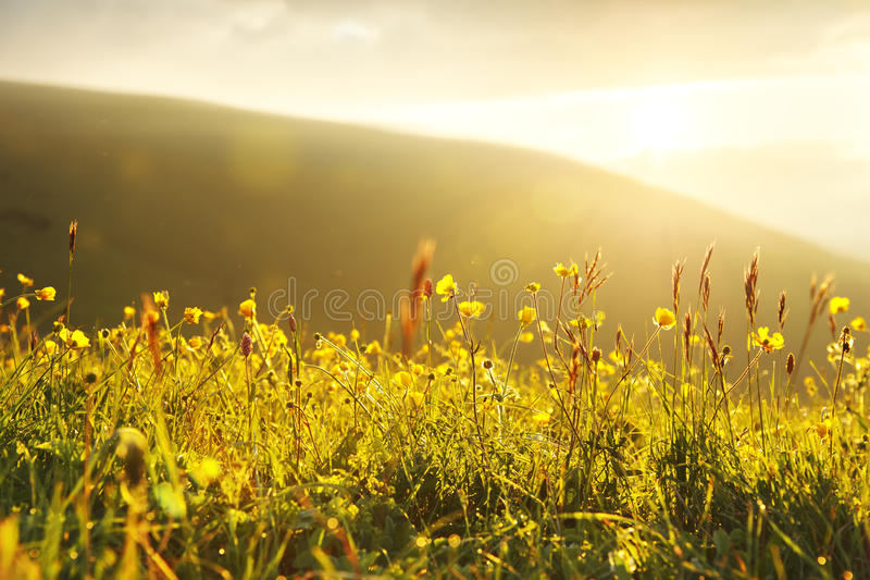 Wild buttercups in the setting yellow light. Beautiful fields of wildly growing yellow buttercups with the setting sun in the background stock photos