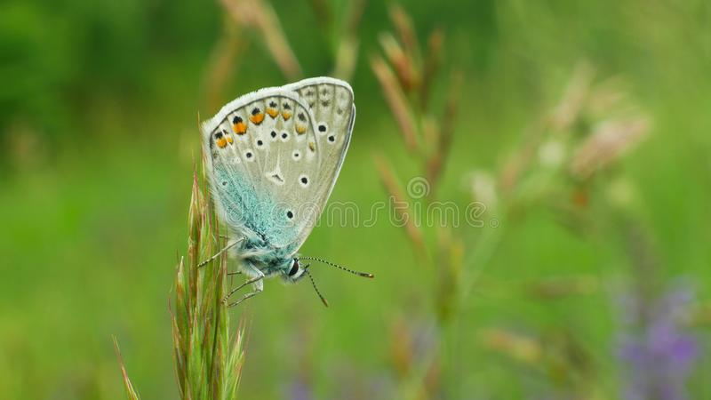Wild butterfly male common blue Polyommatus icarus detail macro, common species without endangered, family Lycaenidae royalty free stock photography