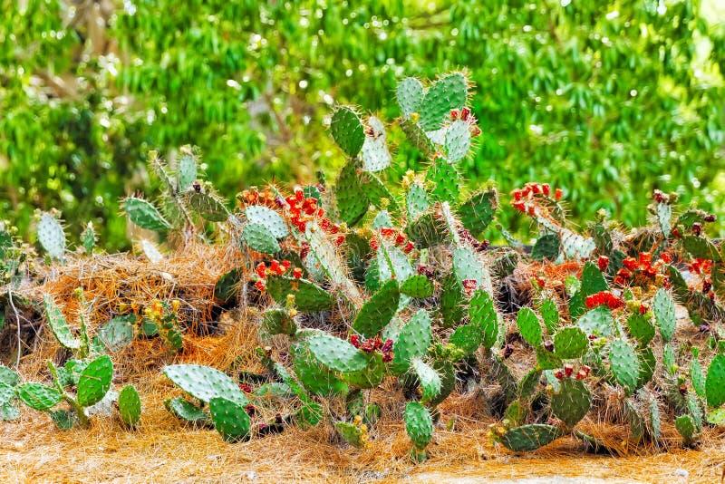 Wild cactus. Wild cactus flowers growing in Spain stock photos