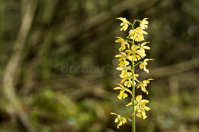 Wild calanthe discolor flower royalty free stock photography