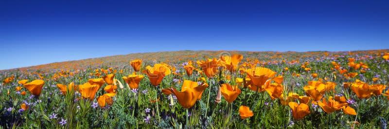 Wild California Poppies stock photo