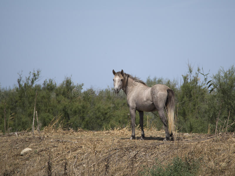 Wild Camargue horse stock image