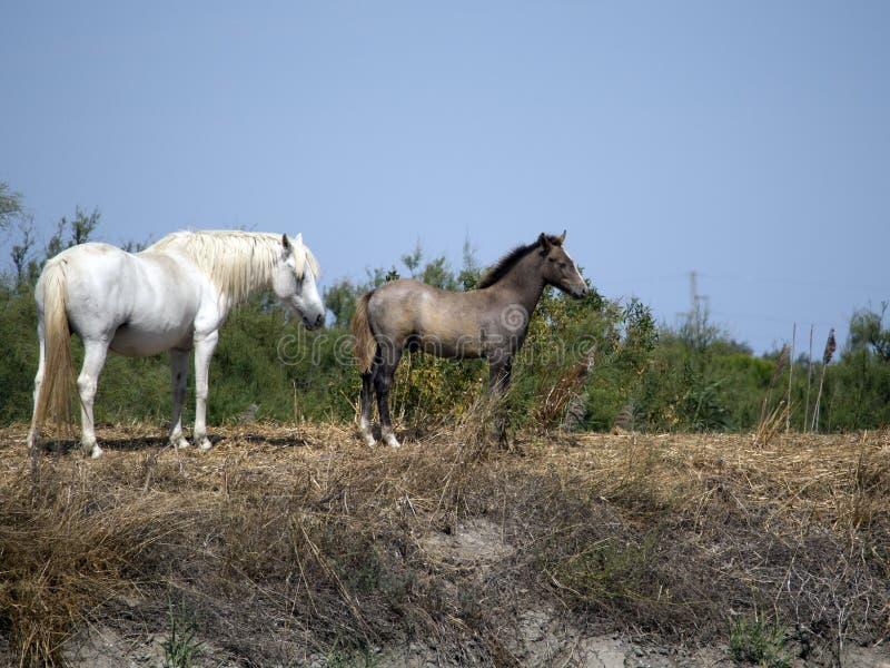 Wild Camargue horses royalty free stock photography