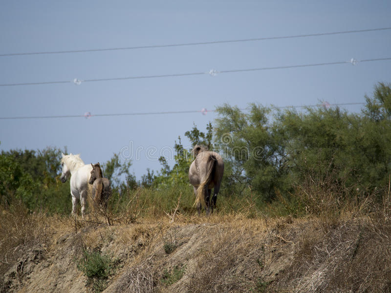 Wild Camargue horses royalty free stock photos