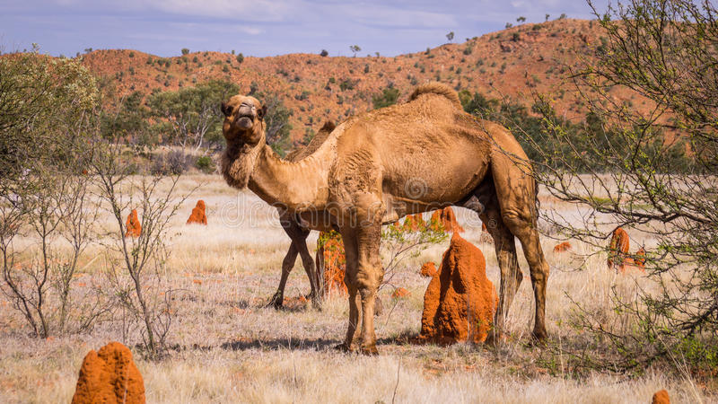 Wild camel in the Australian Outback. With red terminte hills landscape stock image