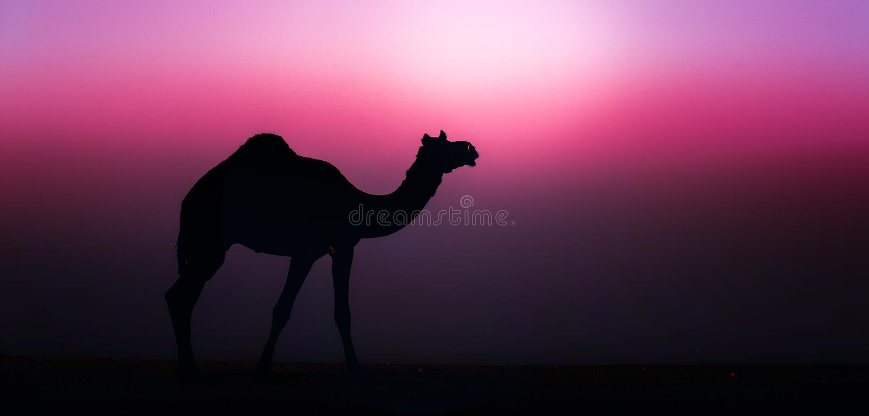Wild Camel. At a desert near Jaisalmer, Rajasthan. India stock image