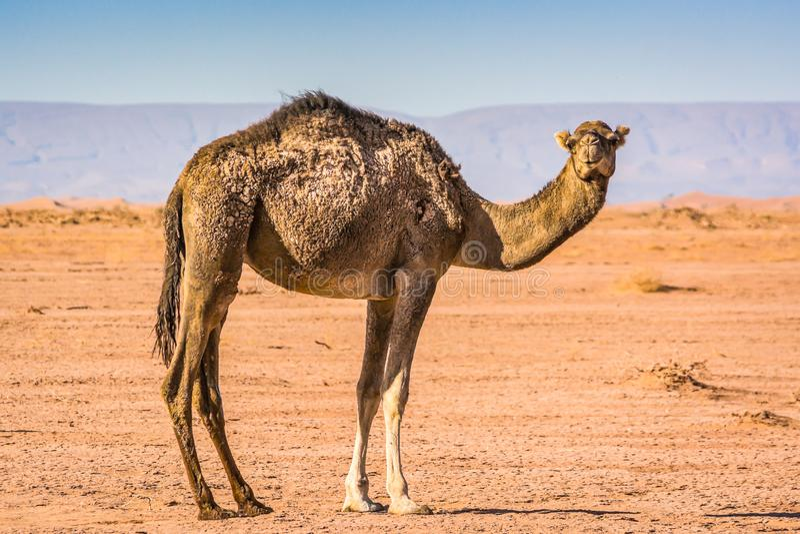 Wild camel in desert Sahara in Erg Chigaga, Morocco royalty free stock image