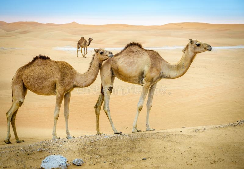 Wild camels in the desert. A herd of wild camels in the desert near Al Ain, UAE stock images