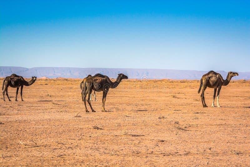 Wild camels in desert Sahara in Erg Chigaga, Morocco stock image