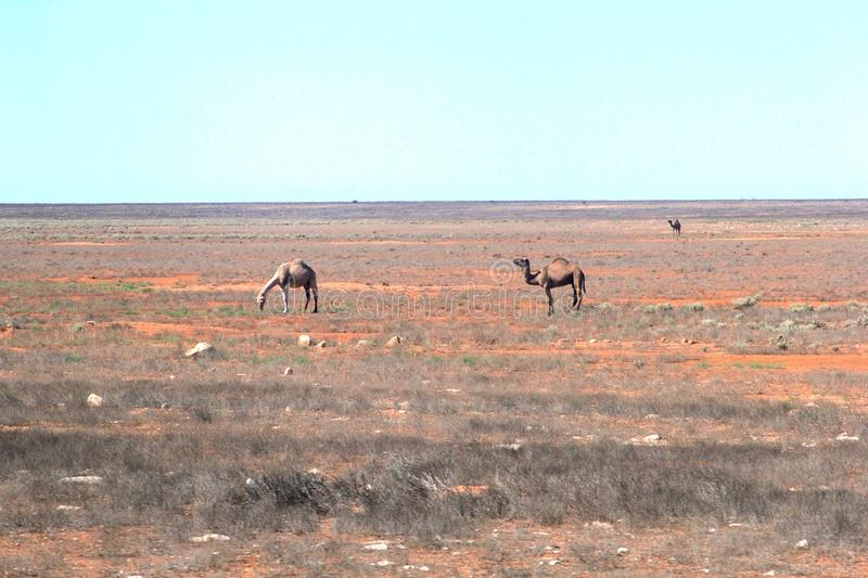 Wild camels in the empty desert at the Nullarbor Plain, Australia stock photo