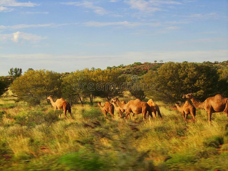 Wild camels in the outback of Australia royalty free stock images