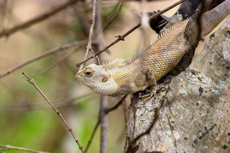 Wild camoflaged Lizard. India has many lizards that spend there time basking in the sun and catching pesky flies that would normally be considered a nuisance royalty free stock photo