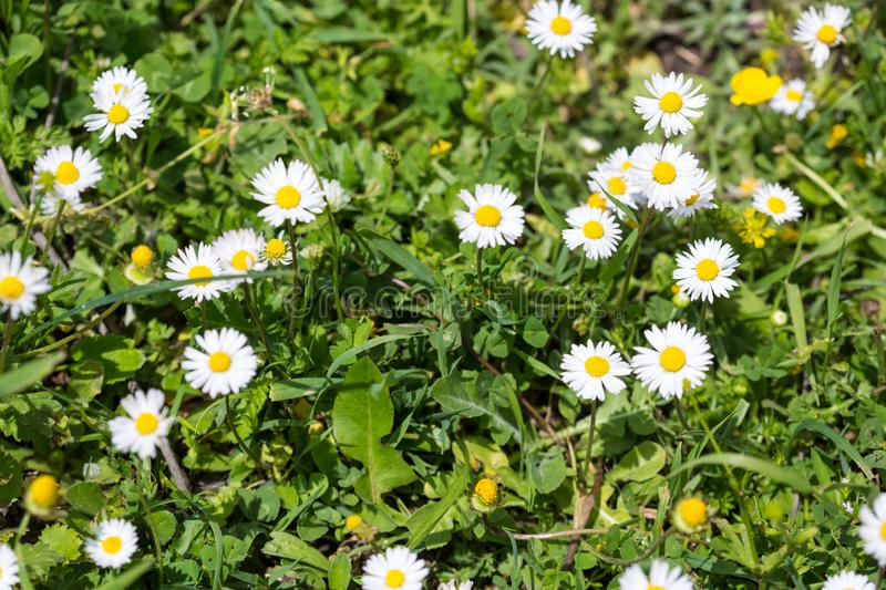 Wild camomile in the field with natural background stock photos