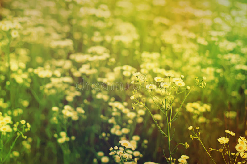 Wild camomile flowers. Growing on green meadow, retro vintage hipster abstract background stock photos