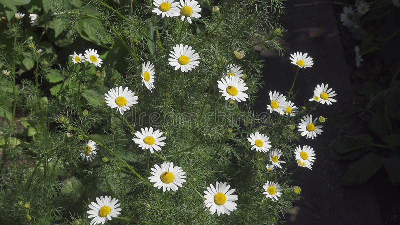Wild camomile & x28;Matricaria chamomilla& x29; in the field with natural background royalty free stock image