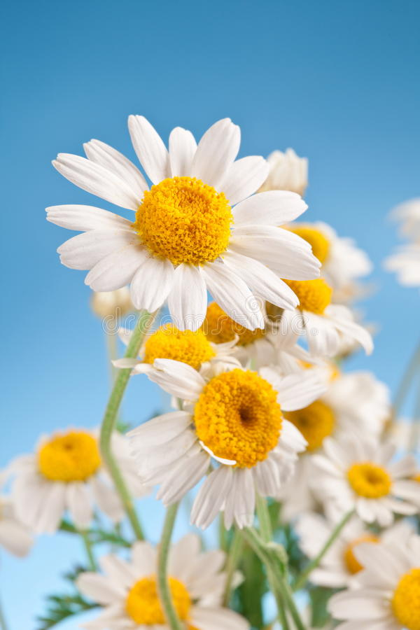 Download Wild Camomiles On A Blue Sky. Stock Image - Image: 29064365